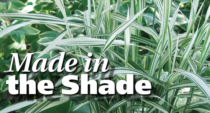 It's a common misconception that shaded gardens can't support ornamental grasses. Several selections thrive in shade and help bring that often-overlooked space to life.