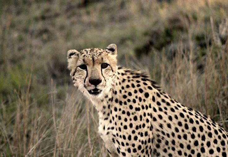 Kruger Park Top 10 Cheetah stare