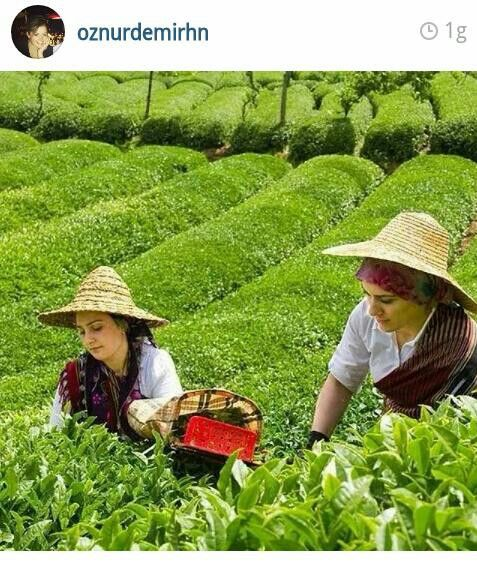 Rize, Turkey. Girls in the tea plantation.