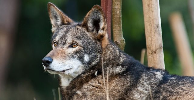 "Stand Up for Critically Endangered Red Wolves!  They are making their last stand in the scrub forests of eastern North Carolina. One of the leading causes of red wolf deaths is gunshot mortality, including from hunters' ""mistaking"" the small wolves for coyotes. Tell FWS to stand up for red wolves and continue recovery efforts for this critically endangered wolf.  PLZ Sign and Share!"