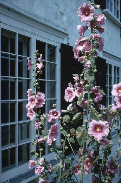 How to Grow Hollyhocks From Roots