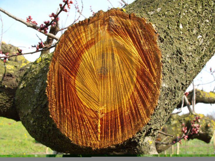 Heartwood apricot tree