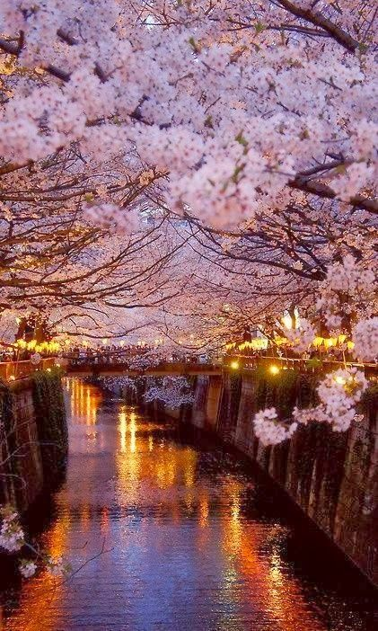 Dat Nature: Cherry blossoms in Paris