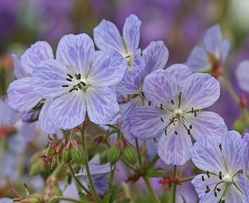 Item ID: 439  Genus: Geranium  Plant Lists: Wild Life, Clay Tolerant, Butterflies  Plant Type: Flowering