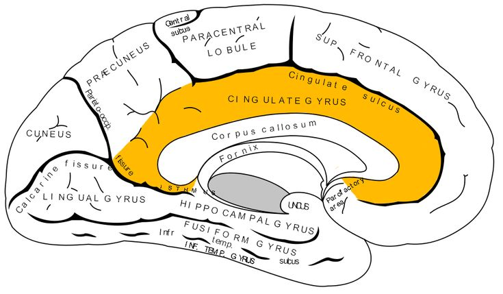 Today we're going on a journey to the center of our brains! I'd liketo introduce youto the Cingulate Cortex. Cingulate Cortex, this is the people. People, Cingulate Cortex.This is one heck …
