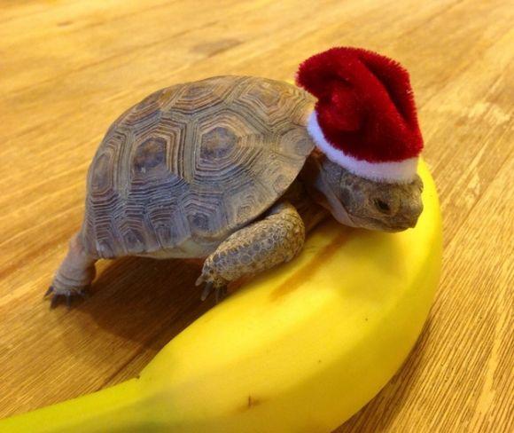 cute little turtle wearing Santa's hat has a banana