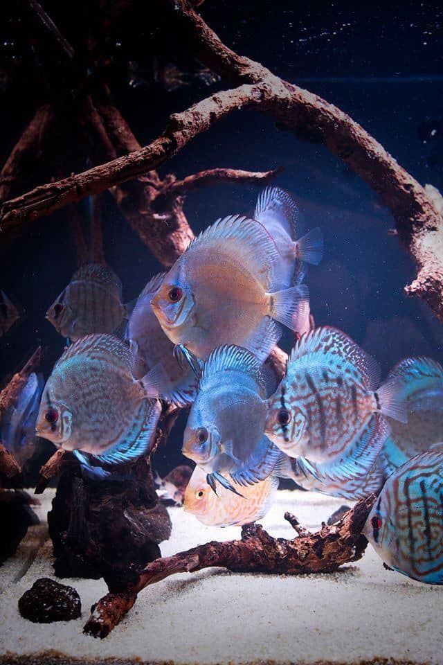 Aquariumfreshwaterfishafricancichlids In 2020 Discus Fish Aquarium Fish Tropical Fish Aquarium