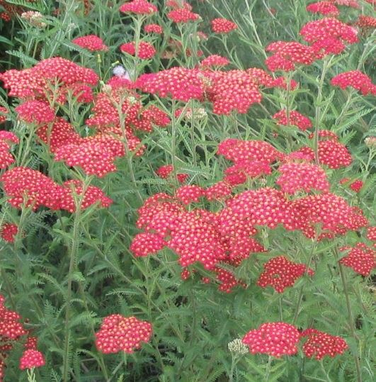 Paprika Yarrow - these make a great accent in bulk. Wonder if they grow ok in clay soil?