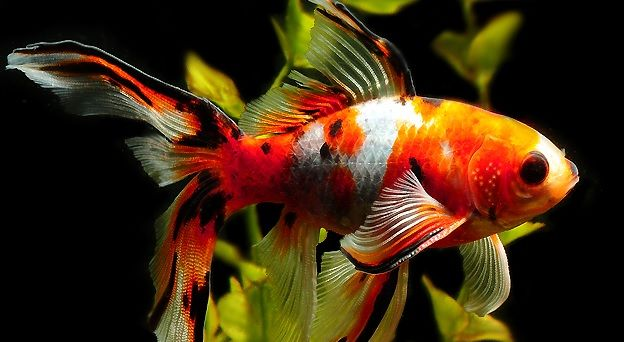 Shubunkin Goldfish Species - Habitat & Aquarium Care Guide