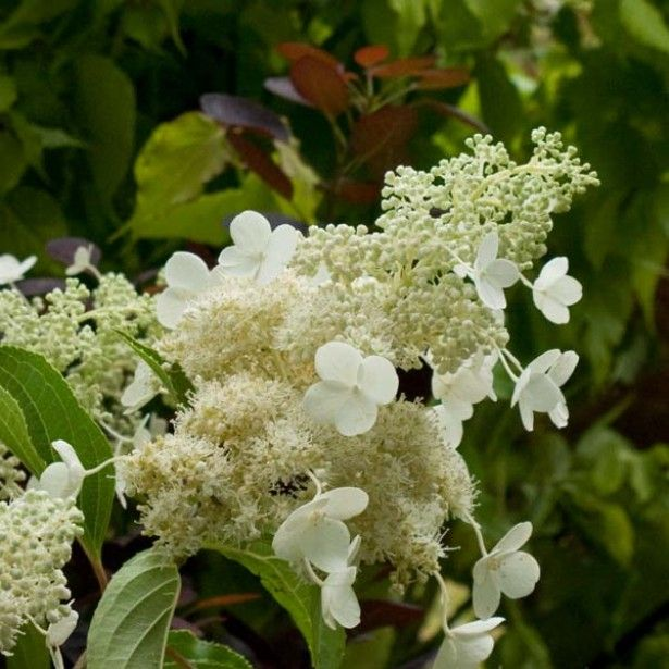 foto de Hortensia Hydrangea paniculata Kyushu Hydrangea