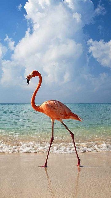 Flamingo walking along beach — Image by © Axiom Photographic/Destinations/Corbis~~Bayahibe, Dominican Republic