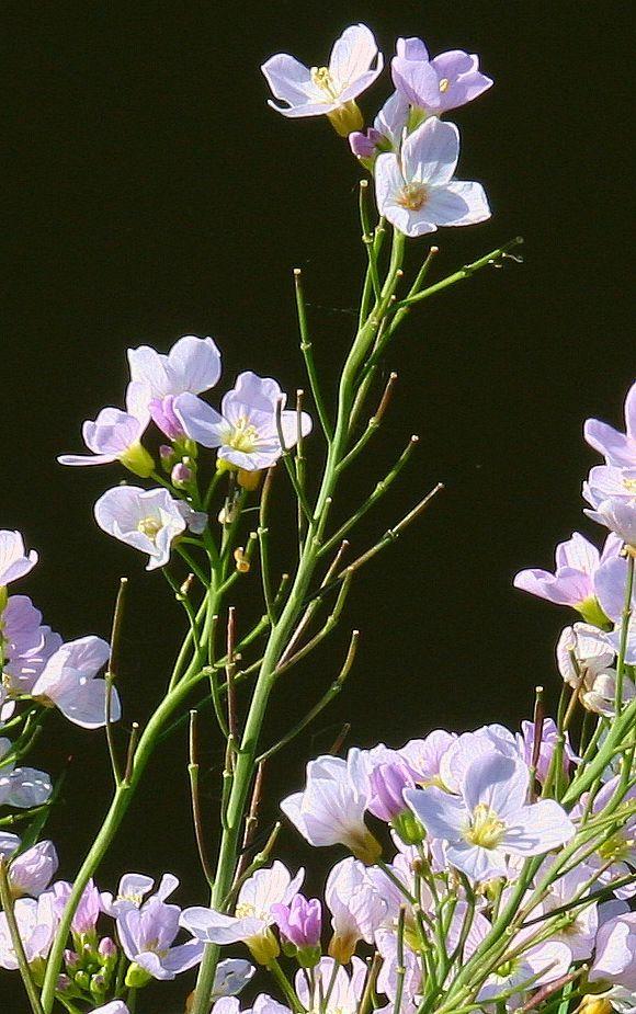 Cuckooflower - Lady's smock Wild Flower Finder