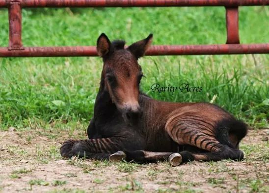 Oh my, a baby Zorse......I will take 2 please...