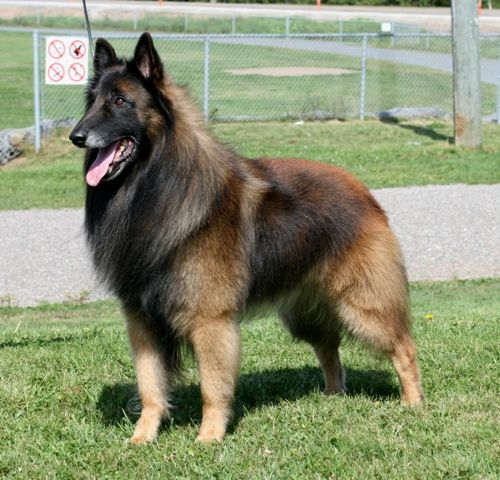 A Belgian Tervuren is considered a dog that is part of the Herding category. Originally, this breed was created for herding and guarding livestock, the result being a muscular dog with a great posture. This type of dog has a lot of strength and at the same time it's quick and agile, able to herd …