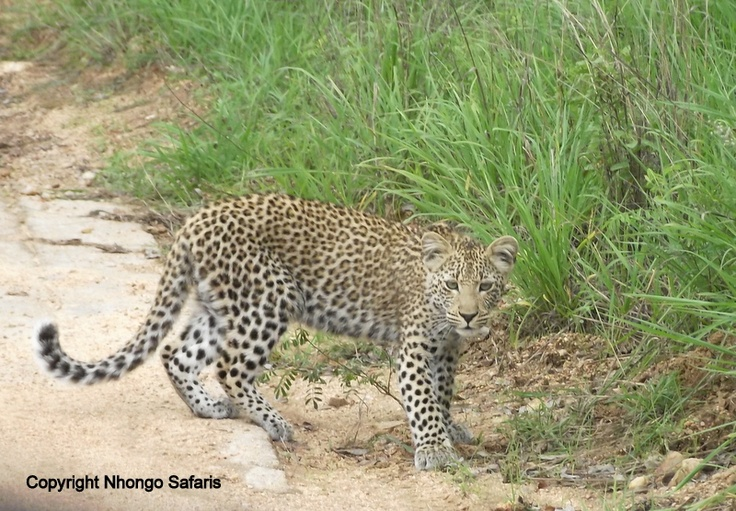 Leopard 13