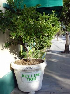 Care Of Key Lime Trees U2013 How To Grow Mexican Key Lime Trees