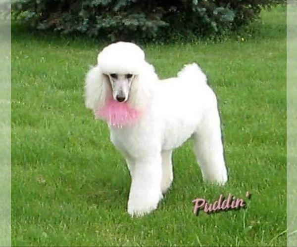 Poodle Standard Dog Breeder Subs 139062 Near Manchester