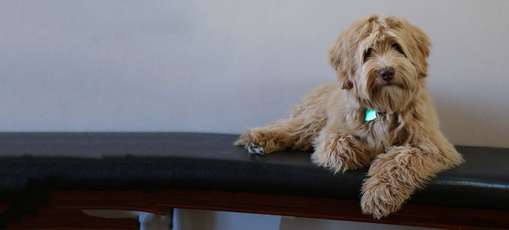 Daisy Hill Australian Labradoodle Puppies. We specialize in allergy-friendly,non-shedding Labradoodles with outstanding sweet temperaments. Labradoodle Oregon