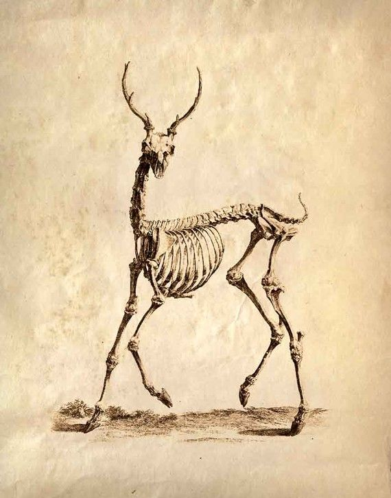 Vintage Science Animal Study Deer Skeleton - out of the ordinary