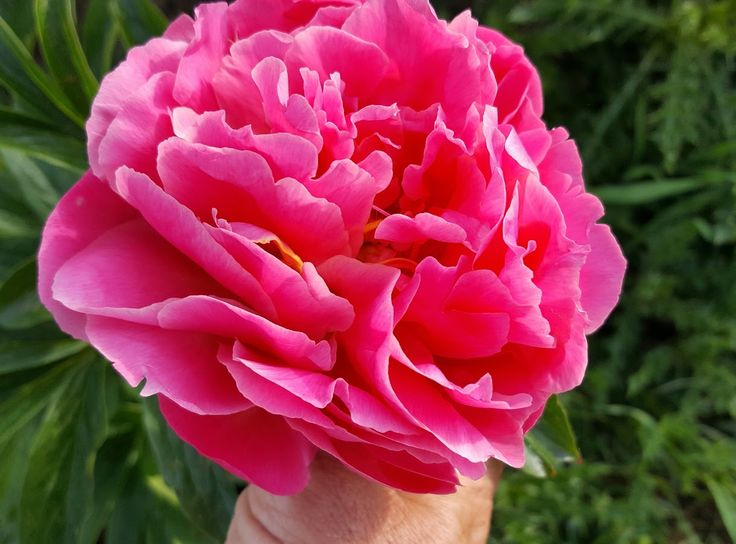 Pink Coral Hawaiian Peony Is A Gorgeous Pink Coral Color That As It Ages Becomes A Soft Peachy Color So Breathtaking And Lovely April Flowers Flowers Peonies