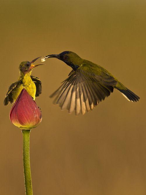 """- - Burung Kolibri - -"" by SIJANTO NATURE"