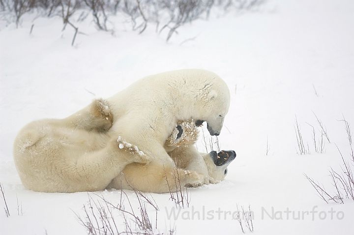 natures best photography 2016 | GALLERI (GALLERY)/Pattedyr (Mammals)/Bjoerne (Bears)/Isbjoerne (Polar ...