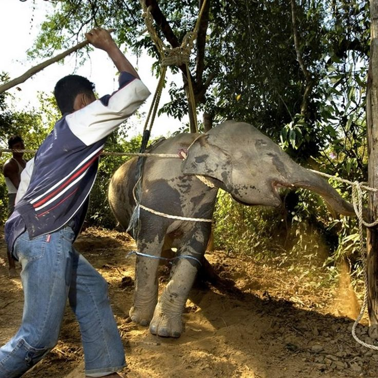 The Truth Behind Elephant Rides in Thailand