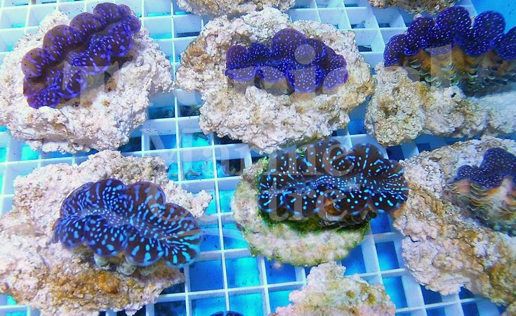 Cultured Blue Maxima - Squamosa Hybrid Clams!  Clams are some of the most fascinating corals to have in your home aquarium!  Who'd like to put one of these stunning Clams in your reef tank?  https://reefbuilders.com/2015/09/24/ora-serving-fantastic-hybrid-maxima-clams/?utm_content=buffereb970&utm_medium=social&utm_source=pinterest.com&utm_campaign=buffer  #TMC #Tropicalmarinecentre #TMCLookForTheLabel #Marine #Clams #Squamosa #Maxima #HybridClams #Cultured #aquarium