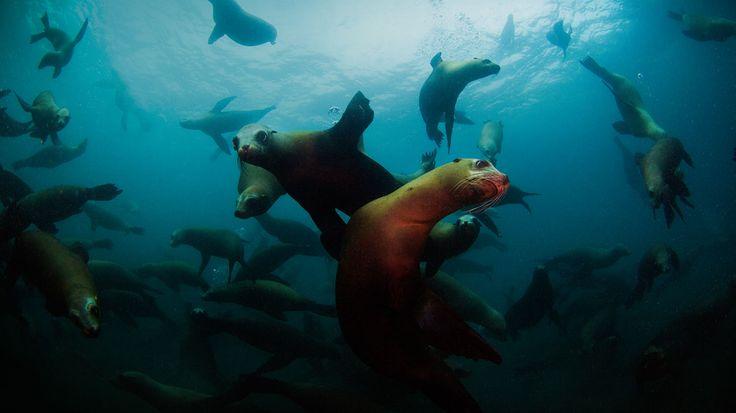 Калифорнии морские львы прочь Anacapa острова, Национальный парк Нормандские острова, Калифорния (© Ian Шиве / Тандем Фото)