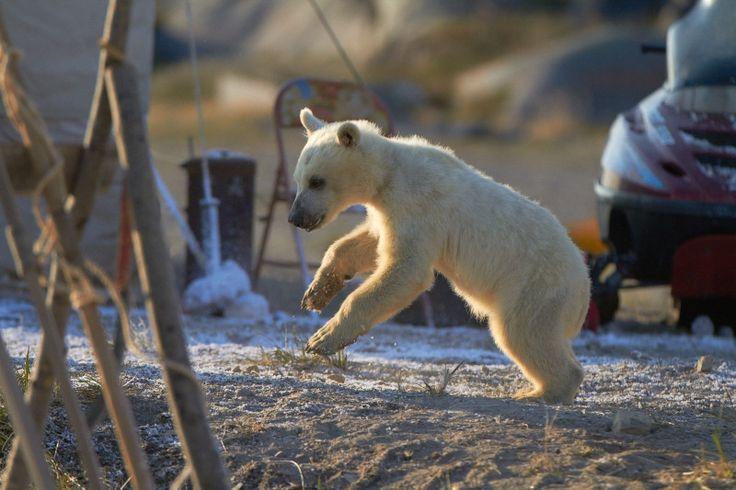 Nanuk, il piccolo orso
