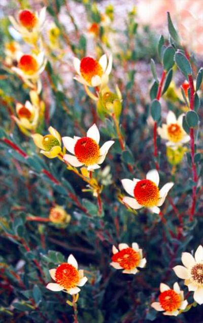 Leucadendron discolor • shrub to 10 ft - good cut flower -  one gal currently on backorder - Australian Native Plants Nursery • Plants • 800.701.6517