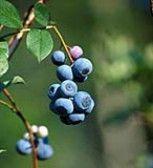 Biloxi Blueberry Variety - eXtension use Misty as polinator