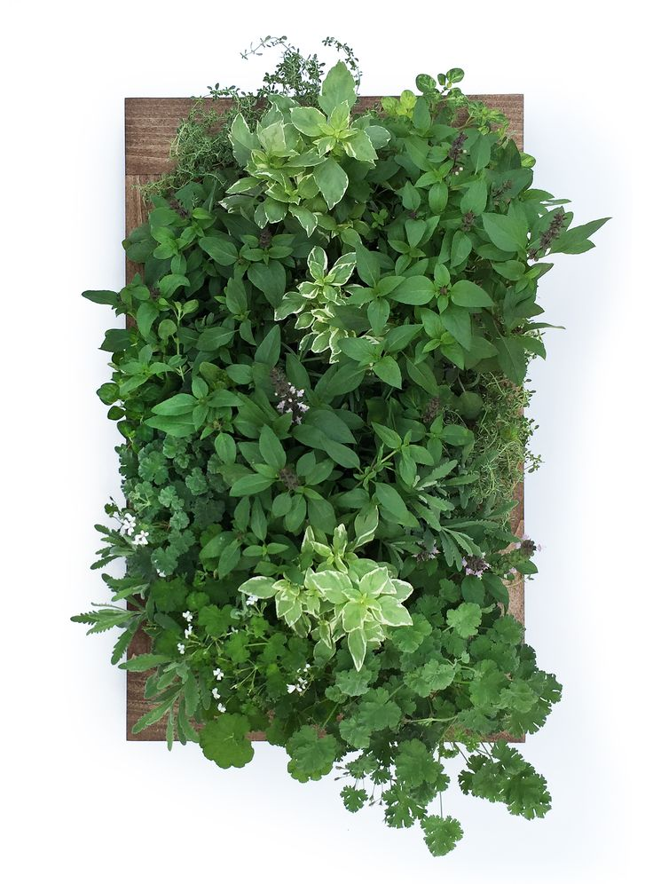 Grow herbs indoor any time of year with a Sage Living Wall. Space-saving and water-efficient, Sage Living Wall herb gardens allow you to grow fresh herbs in unexpected places. Plus, no soil means no mess!