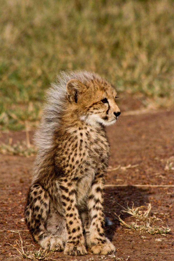 Cheetah Cub. Photo by Ranger Diaries. For more things to do and see in Southern Africa go to www.leka-escapes.co.za.