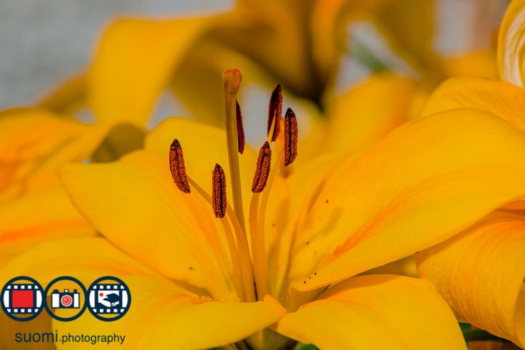 Yellow Lily by Suomi.Photography  on 500px