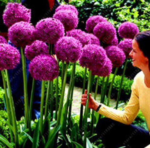 Details All The Products We Sell Are 100 Natural Do Not Forget To Look At Our Other Products As Well The Number Of Pr Bulb Flowers Onion Flower Flower Seeds