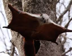 RODENTIA - FLYING SQUIRREL - RED & WHITE GIANT FLYING SQUIRREL - FOPING NATURE RESERVE - SHAANXI PROVINCE CHINA