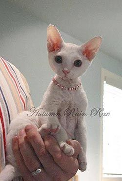 Visit The Cattery - #tinycatbreeds - More Tiny Cat Breeds at Catsincare.com!