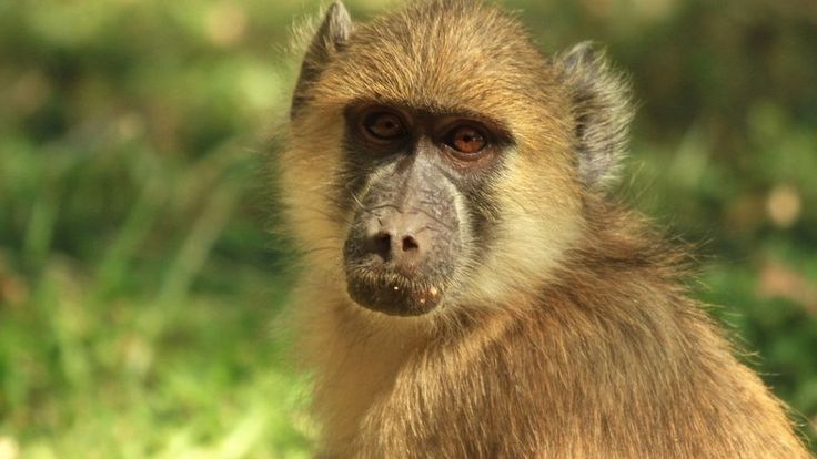 Baboon cause a massive #blackout in Zambia. Power was cut to 50,000 people. Did you know that Baboon's palms are heavily insulated? Thanks to this the animal survived. iSocket reports power outages to your phone.    #PowerCut? iSocket alerts you!
