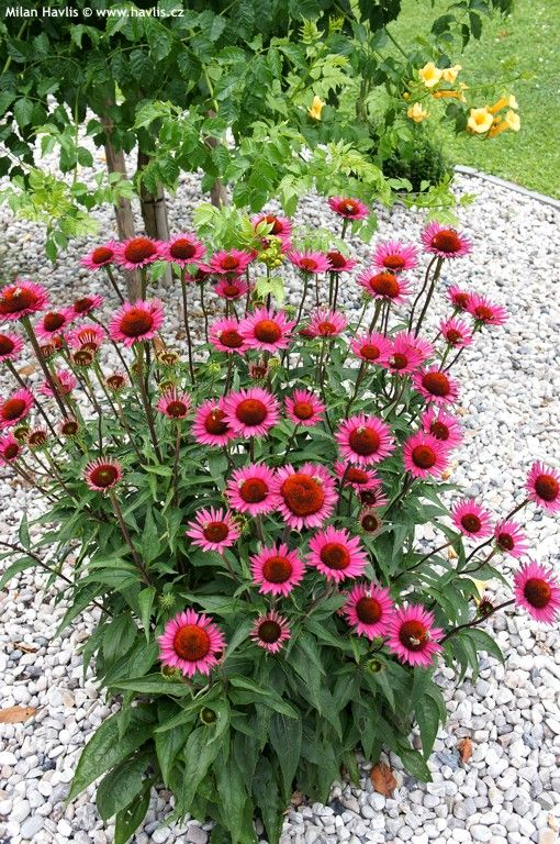 Echinacea 'Vintage Wine' -great with red-brown leaves. Also with grass 'Goldtau' and Sedum 'Purple Emperor'.