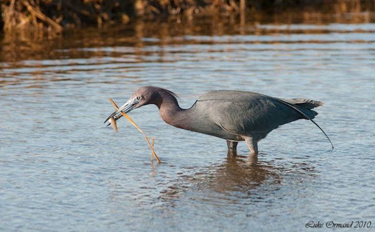 2-Küçük mavi balıkçıl (Egretta caerulea)  balık avlarken