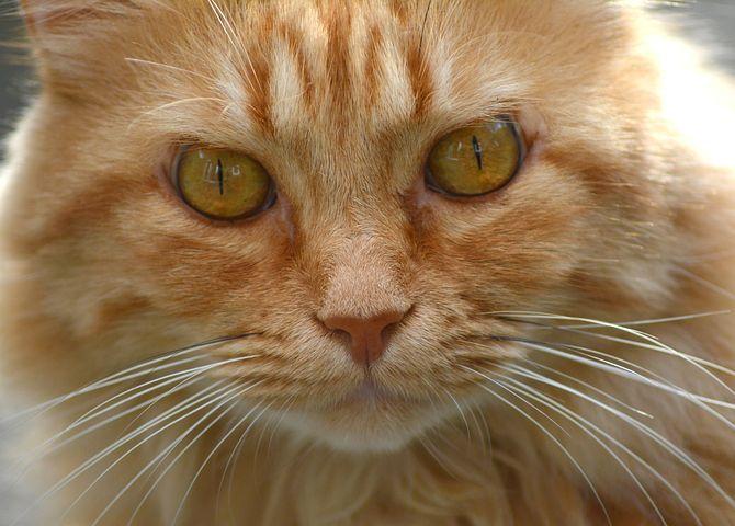 Katze, Kater, Roter Kater, Portrait