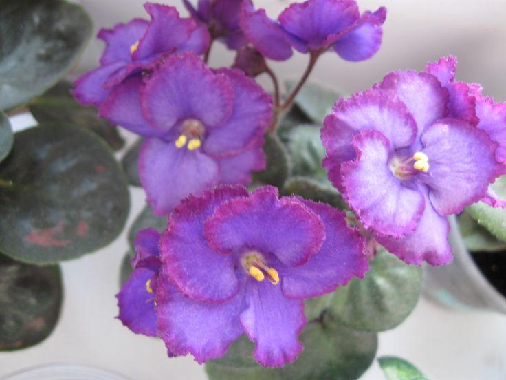 midnight rascal african violetindoor plantspurple flowershouseplantsflowers - Flowering House Plants Purple