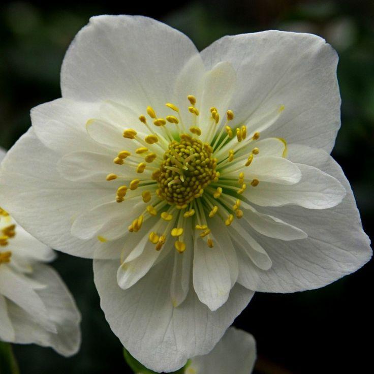 http://shop.unquadratodigiardino.it/ellebori-e-altri-fiori-invernali/756-helleborus-niger-double-fashion-.html