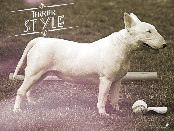 Bull terrier , Foto montage
