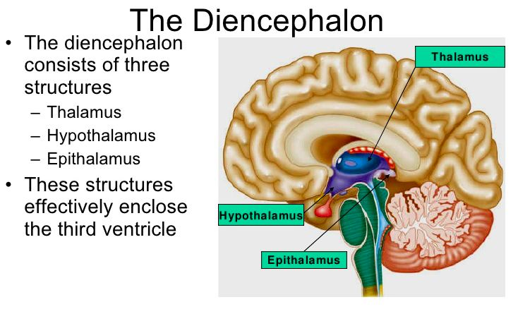 "The thalamus is an ovoid mass perched at the superior end of the brainstem beneath the cerebral hemisphere. Broadly speaking, the thalamus is the ""gateway to the cerebral cortex.""Nearly all input to the cerebrum passes through the thalamus. It also serves in motor control by relaying signals from the cerebellum to the cerebrum. Finally, the thalamus is involved in memory and emotional functions of the limbic system."