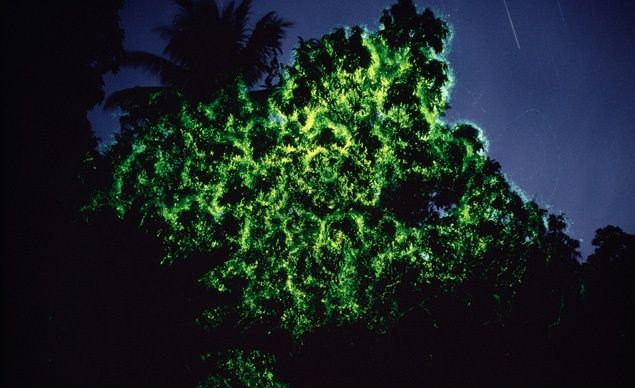 "Firefly Trees, Papua New Guinea: At locations across Southeast Asia—from India and Malaysia to Papua New Guinea—fireflies congregate in ""display"" trees and bushes along mangrove-lined rivers where they breed, synchronizing their flashes for all to see.   (Minden Pictures / SuperStock)"