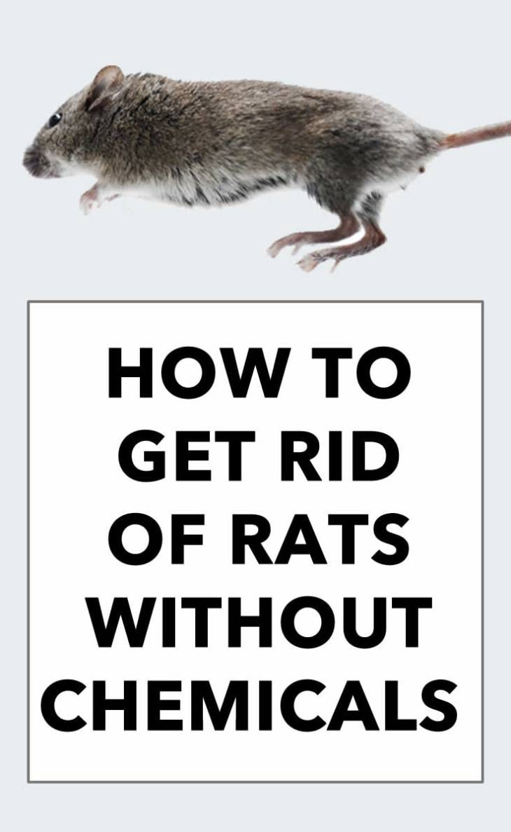 How To Get Rid Of Rats Without Poison