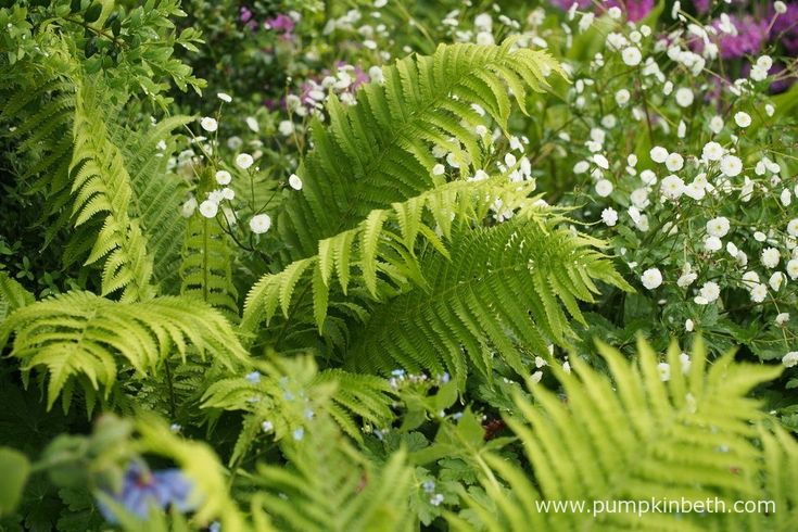 Matteuccia struthiopteris, also known as the ostrich fern, planted with Ranunculus aconitifolius 'Flore Pleno', pictured in The Morgan Stanley Garden, designed by Chris Beardshaw for the RHS Chelsea Flower Show 2017.