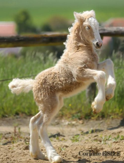 Cute little rearing up fuzzy foal, baby horse with a curly coat.